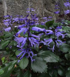 Plectranthus 'Mona Lavender', sun, partial sun, summer annual Not hardy below zone 9 but can be over wintered inside About Winter Season, Perennial Bulbs, Blue And Purple Flowers, Asparagus Fern, Book Flowers, Cottage Garden Plants, Forest Garden, Unusual Flowers, Growing Tree