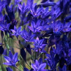 "Triteleia - Queen Fabiola - from Brent and Becky's Bulbs. American native 20-24"" stems, good cut flower."