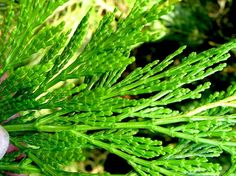 The smoke of the cedar is purifying, and also cures the predeliction to having bad dreams. Twigs of the cedar are burned and smouldered, or made into incense, for healing ceremonies , they are placed upon the hot rocks in sweat lodges for purification . A piece of cedar kept in the wallet or purse draws money, and cedar is used in money incenses. Cedar is added to love sachets and is burned to induce psychic powers.