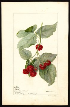 Artist:Passmore, Deborah Griscom, 1840-1911 Scientific name:Rubus Common name:brambles Variety:Miller  art original : col. ; 16 x 25 cm. Year:1895