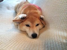 Much Noise. Such Reaction. No Fingers. Wow. Shiba Inu - 柴犬