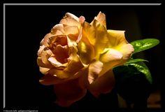 fotografie e altro...: Rosa color albicocca - Fotografie ed elaborazioni ...