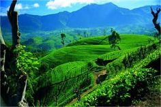 Sri Lanka has an area of 25,000 square miles, but its immense tea cultivation makes 298,000 to a tea per year.
