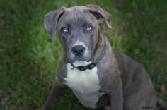 Macy is an adoptable Pit Bull Terrier Dog in Charlotte, NC. Macy is a sweet 5 month old puppy who is great with other dogs and is learning all her manners! Macy will be spayed, vaccinated, and microch...