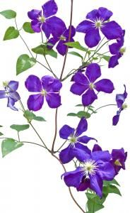 1000 images about clematis flowers on pinterest. Black Bedroom Furniture Sets. Home Design Ideas