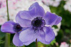 anemon çiçeği ile ilgili görsel sonucu