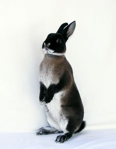 """Lottie"" One of our Marten sable doe's decided to pose today -  Marten Sable Mini Rex"