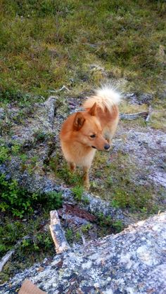 Wolf, Wild Dogs, Hunting Dogs, Dog Stuff, Finland, Best Dogs, Leo, Corgi, Cute Animals