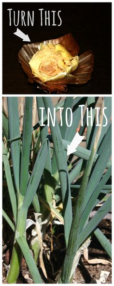 How to grow onions from kitchen scraps - in 3 easy steps! |Lavende and Lemonade