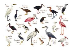 This watercolor painting features water-loving Wading Birds of North America as a field guide chart. It features the following birds: American Bittern Black-crowned Night Heron Cattle Egret Glossy Ibi