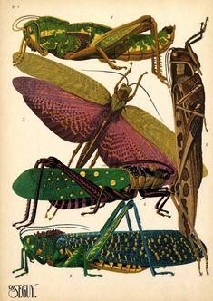 1. Pamphagus elephas. Alg??rie; 2. Tropidacris dux. Am??rique du Sud; 3. Cyrtacantacris tartarica. Asie; 4. Aularches miliaris. Asie; 5. Phymateus saxosus. Madagascar.jpg 726×1.024 pixels