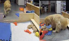 Newborn Puppies, Tiny Puppies, Golden Retriever Names, Golden Retrievers, Sleepy Dogs, Dog Stories, Dog Wallpaper, Funny Animal Videos, Dog Supplies