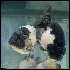 ranchu   Panda Ranchu   Goldfish   Pinterest