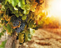 Na przełomie września i października wszystkie drogi prowadzą do Mołdawii. Już niemal od dwudziestu lat jesienią do Kiszyniowa zjeżdżają miłośnicy wina z całego świata. O tej porze roku wszystko mieni się tu pięknymi jesiennymi kolorami, przyciąga bogactwo smaków i zapachów. Narodowy Dzień Wina jest tu świętem narodowym, podczas którego hucznie celebruje się ponad tysiącletnią tradycję produkcji wina.