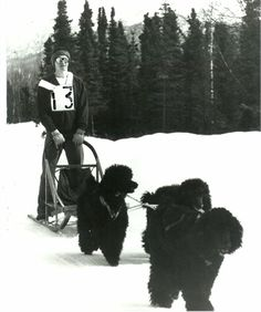 Did You Know Poodles Raced in the Iditarod? | Dogster