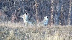 Pack of Howling Coyotes. This is pretty much what we heard at 1am this morning.  But they were slowly on the move.