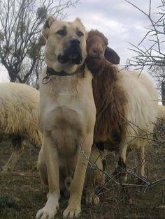 Turkish Kangal Dog and his sheep friend
