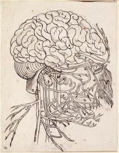 Cerveau, cervelet et nerfs crâniens de l'homme vus de côté  By Charles Le Brun (1619-1690).