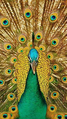 Peacock----I LOVE it. It should not be a problem finding a mate while looking like this.   Charles Yeary    cyeary70@yahoo.com