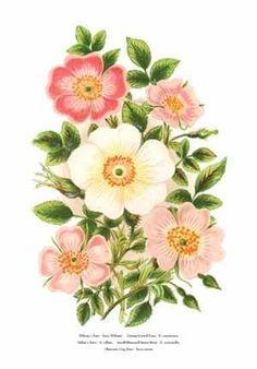 Botanical art by Anne Pratt of Roses & Sweet Briar