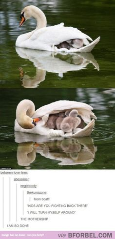 ahahahaha -A really bad case of Cygnets!