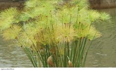 Cyperus alterniflorus