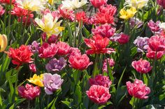 Rollover image for an enlarged view Carnations, Tulips, Peach Blossoms, December 25, Salvia, Lamp Design, Margarita, Perennials, Branding Design