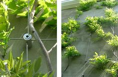 Examples of Wire Trellis and Green Walls in place