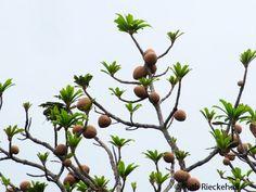 Mamey Tree, El Imposible National Park, El Salvador