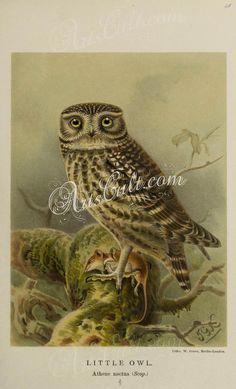 047-LITTLE OWL      ...