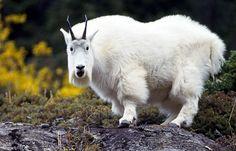 Oreamnus americanus o Cabra blanca de las rocosas
