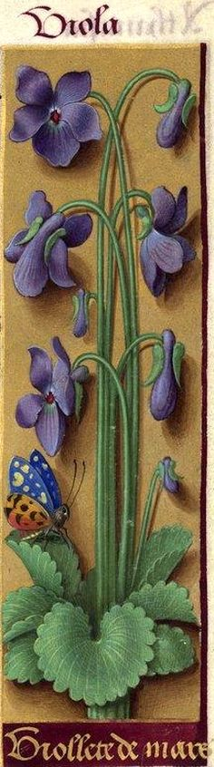 Viollete de mars - Viola (Viola odorata L. = violettes) -- Grandes Heures d'Anne de Bretagne, BNF, Ms Latin 9474, 1503-1508, f°60r