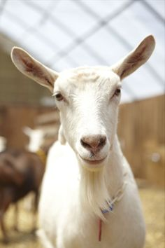 """I love Goats! Years ago we had a goat - Casper the friendly goat... he was the greatest goat... and a wonderful guest at our crazy parties... I loved hearing """"did I just see a goat walk by""""? I miss Casper... someday I'll have another goat..."""
