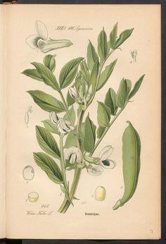 Prof. Dr. Thomé's Flora von Deutschland, Österreich und der Schweiz in Wort und Bild. Broad bean. Rar 3635