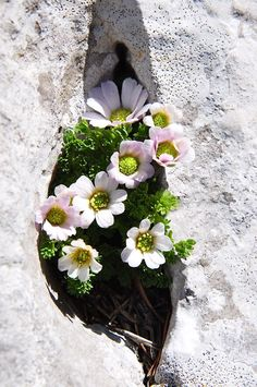 hellebores,  1 ½ - 2 ft. tall and spread 1 - 1 ½ ft. wide, shade