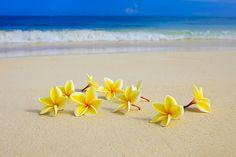 plumeria frangipani beach ocean