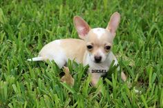 """Fairytailpuppies """"where pets are family too - DIESEL"""