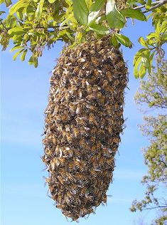 Healthy bee colonies will swarm - be prepared. Carolina Honeybees