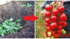 Dajte čerstvú žihľavy do každej jamy: Keď zistíte, čo to urobí s koreňmi rajčín, nebudete váhať ani sekundu! Garden Inspiration, Flora, Gardening, Fruit, Vegetables, Belle, Greenhouses, Plants, Lawn And Garden