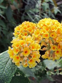 Buddleja x weyeriana 'Sungold' Deciduous shrubs Butterfly Bush, Shrubs, Woods, Glow, Plants, Lawn And Garden, Woodland Forest, Shrub, Forests