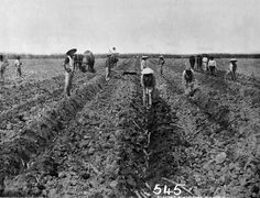 Chinese canegrowers planting sugar cane near Cairns, ca. 1878. Caption references Hop Wah plantation, may also be Hambledon. The Hop Wah syndicate consisted of Chinese workers who grew cane, cotton and other crops on a plantation of 600 acres selected by Andrew Leon, a prominent Chinese business man. / Queensland State Archives Item ID1098175, Photographic material | thefashionarchives.org