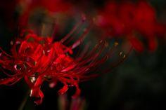 red spider lily by Masaru Kuroda on 500px