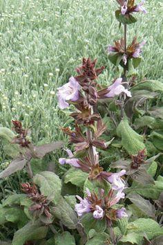 Purple Sage- herbaceous/semi-deciduous