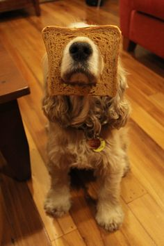 Cocker spaniel breading :D