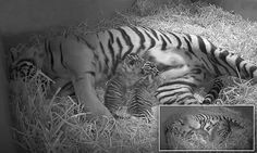 The two newborn Sumatran tigers were born at London Zoo on Monday to pregnant tigress Melati who was spotted going into labour on a hidden camera to the excited of zookeepers.