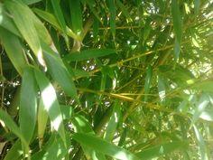 Bambu...