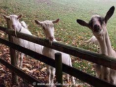 Edgarten - Gartenblog: 🐐 Reifenwechsel und Ziegen Goats, Animals, Sad Stories, Animales, Animaux, Animal Memes, Animal, Goat, Animais