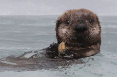 baby otter ~ sea otter population is declining due to increased pollutants in the water and shark attacks :(
