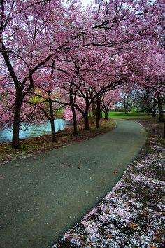 Apple Blossoms, Boston Common, Boston, Massachusetts by hbp_pix~~ What A Wonderful World, Beautiful World, Beautiful Places, Beautiful Pictures, Boston Common, In Boston, Boston Public, Places To Travel, Places To See