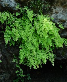 Maidenhair fern...